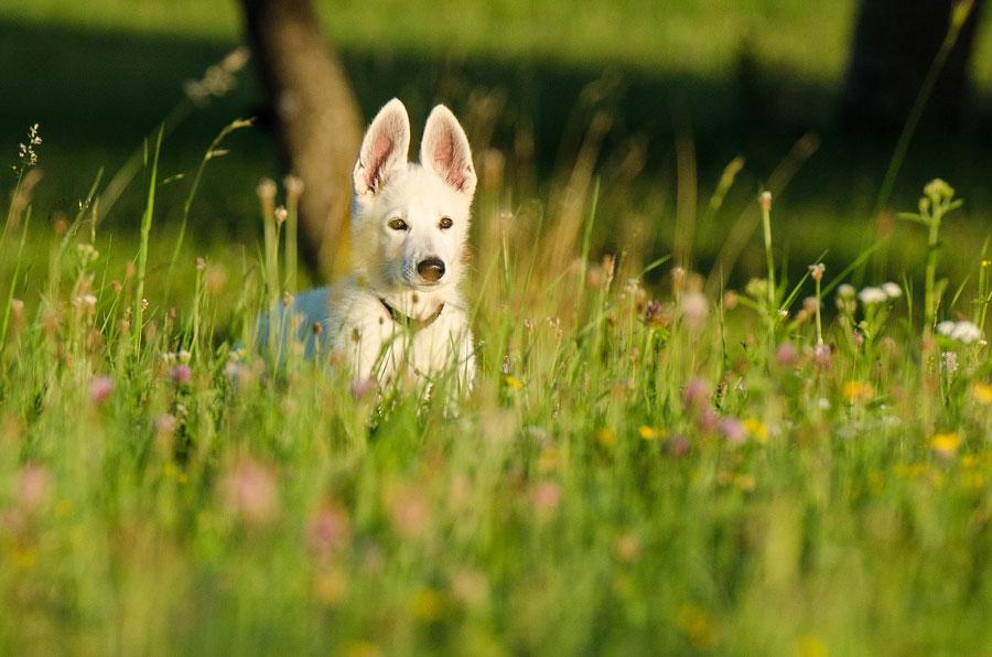 Pies rasy Schafer dog na łące