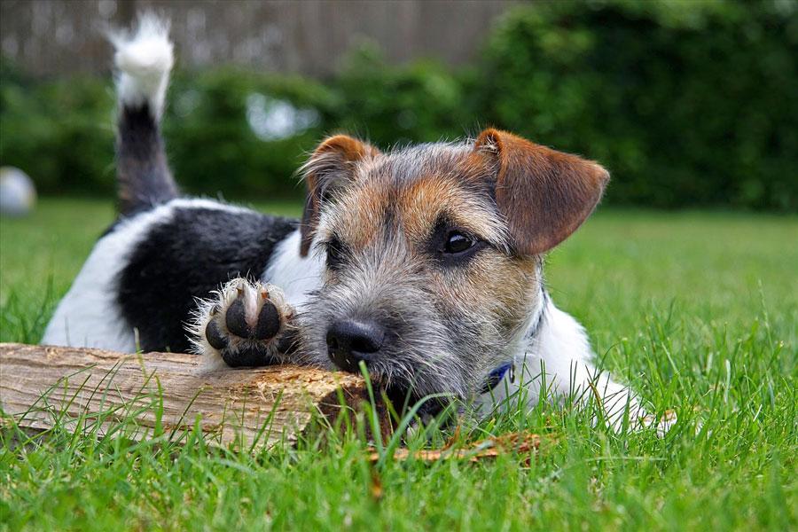 Pokusy łąki i ogrodu - Terrier na łące