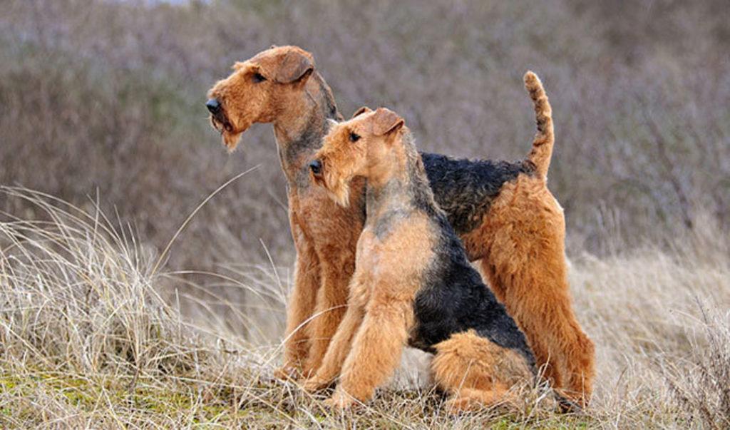 Ariedale Terrier