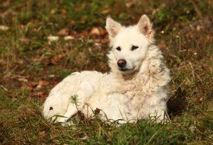Mudi Hungarian Sheppdog