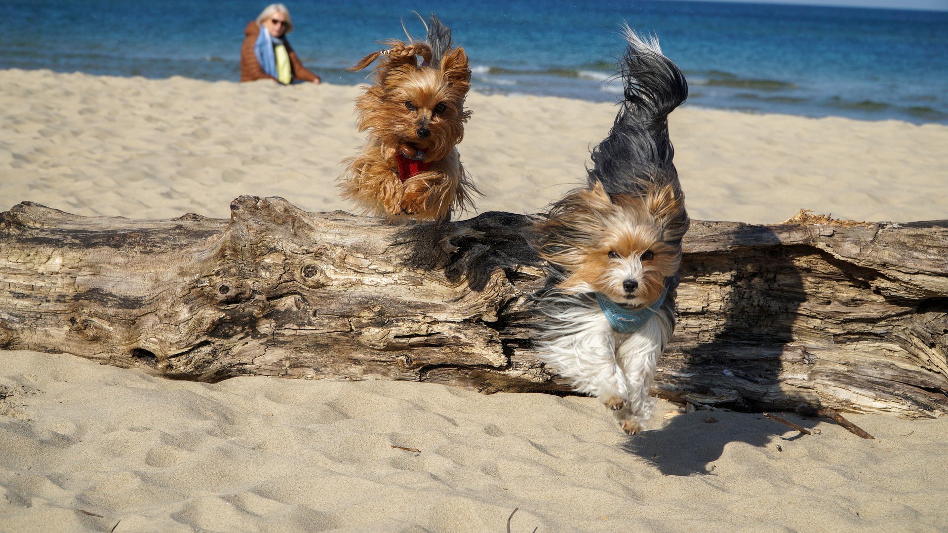 yorkshire terrier na plaży